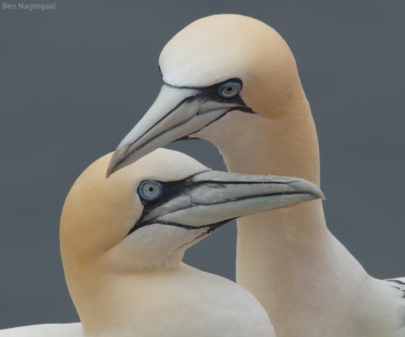 gannet2